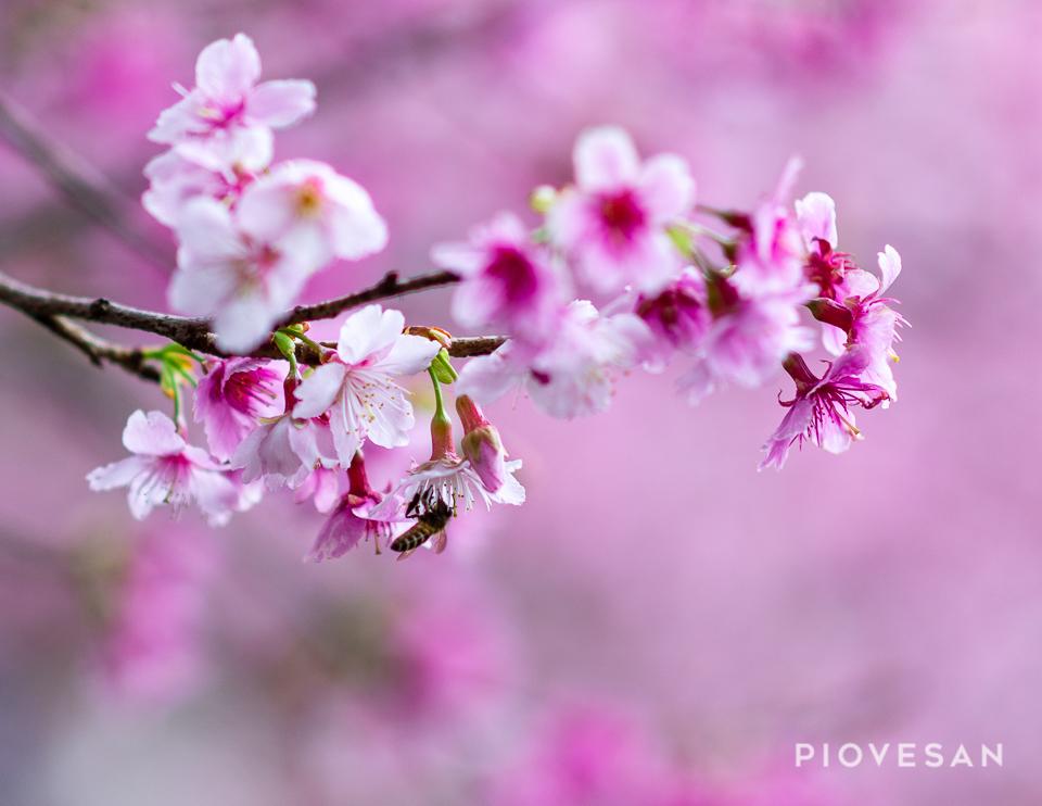 Sakura Blossom.